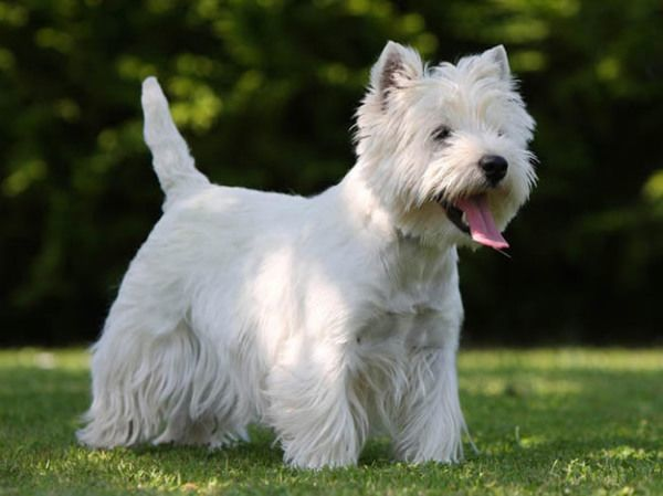 razas-de-perro-escoceces-lwest-highland-white-terrier