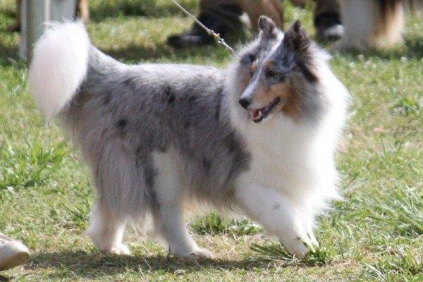 razas-de-perro-escoceces--pastor-de-las-islas-shetland