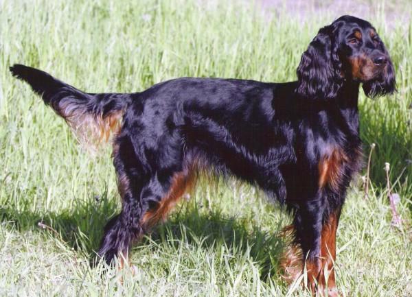 razas-de-perro-escoceces-setter-escoces