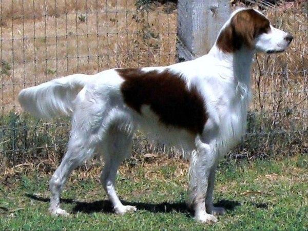 razas-de-perro-irlandeses-setter-irlandes-rojo-y-blanco