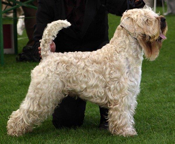 razas-de-perro-irlandeses-wheaten-terrier-de-pelo-suave