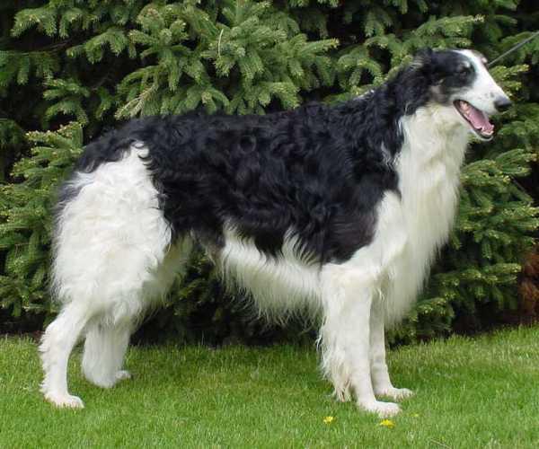 razas-de-perro-rusos-borzoi