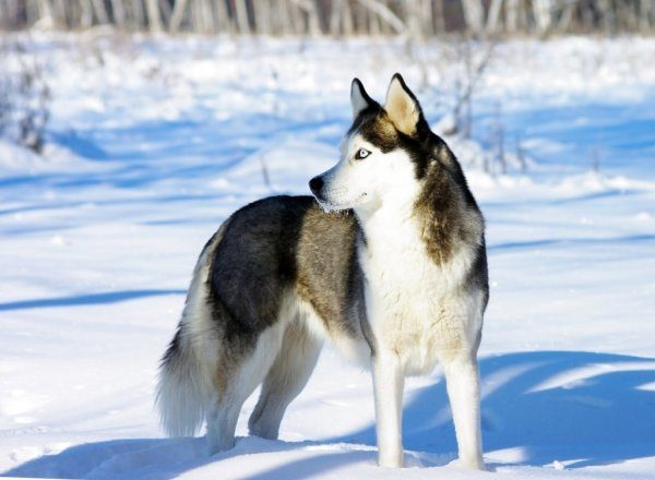 razas-de-perro-rusos-husky-siberiano