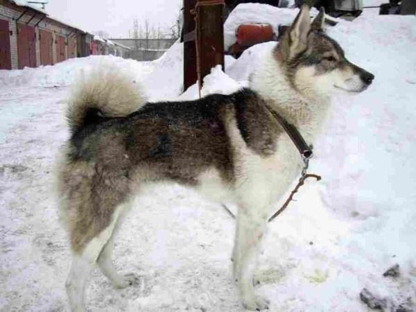 razas-de-perro-rusos-laika-de-siberia-occidental