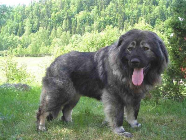razas-de-perro-rusos-pastor-caucasico