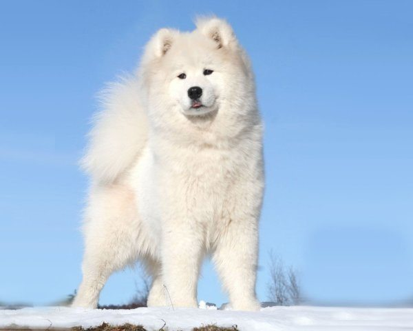 razas-de-perro-rusos-samoyedo