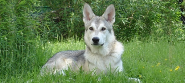 razas-de-perro-rusos-sulimov