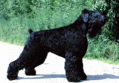 razas-de-perro-rusos-terrier-ruso-negro