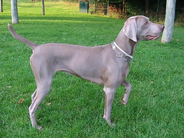razas-de-perros-alemanes-braco-de-weimar