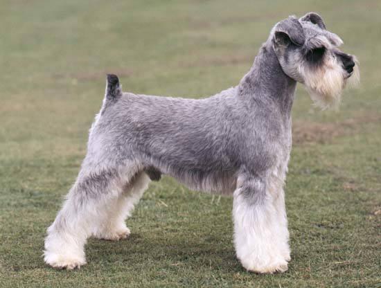 razas-de-perros-alemanes-schnauzer