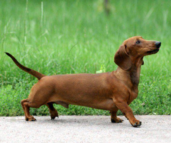 razas-de-perros-alemanes-tekel