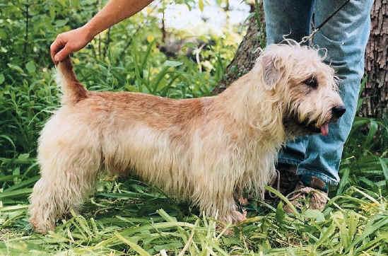 razas-de-perros-irlandeses-Glen-of-imal-terrier