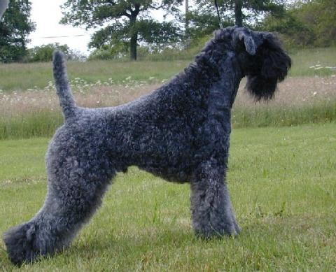 razas-de-perros-irlandeses-kerry-blue-terrier
