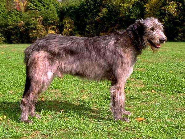 razas-de-perros-irlandeses-lebrel-irlandes