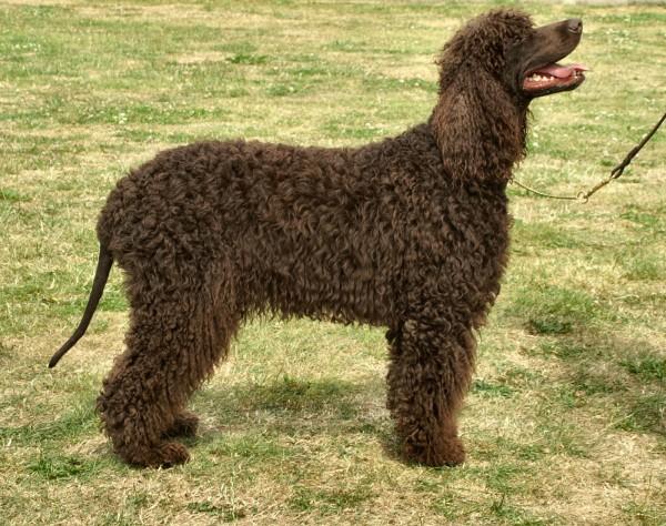 razas-de-perros-irlandeses-perro-de-agua-irlandes