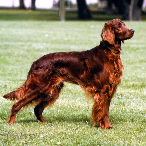 razas-de-perros-irlandeses-setter-irlandes