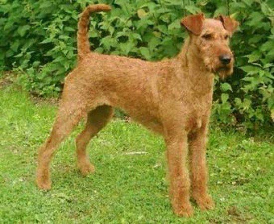 razas-de-perros-irlandeses-terrier-irlandes