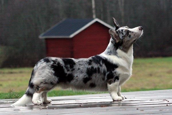 razas-de-perro-escoceses-corgi-gales-de-cardigan