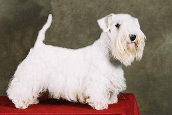 razas-de-perro-escoceses-sealhyam-terrier