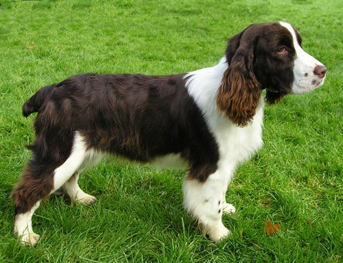 razas-de-perro-escoceses-springer-spaniel-ingles