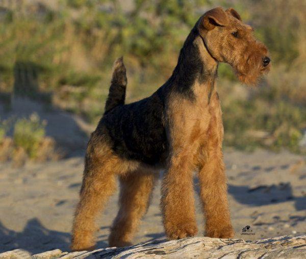 razas-de-perro-escoceses-terrier-gales