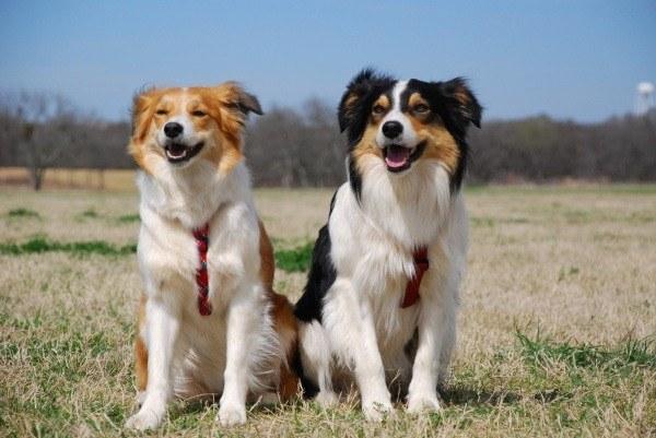 razas-de-perro-escoceses-welsh-sheepdogs