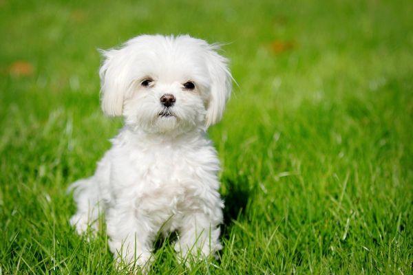 razas-de-perro-latinoamericanos-bichon-habanero