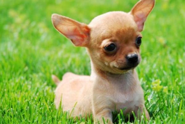 razas-de-perro-latinoamericanos-chihuahua
