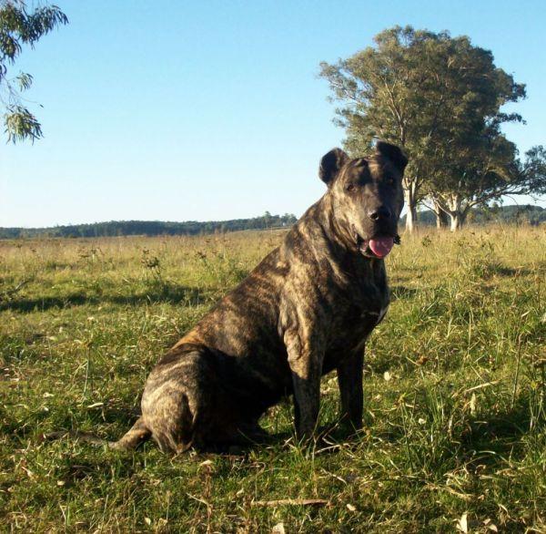 razas-de-perro-latinoamericanos-cimarron-uruguayo