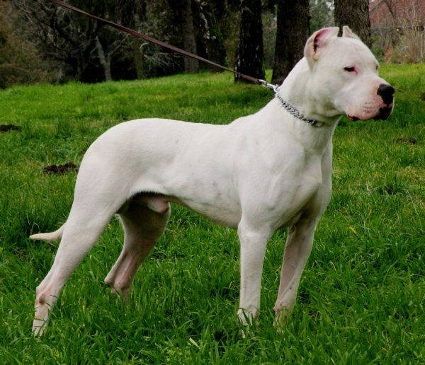 razas-de-perro-latinoamericanos-dogo-argentino