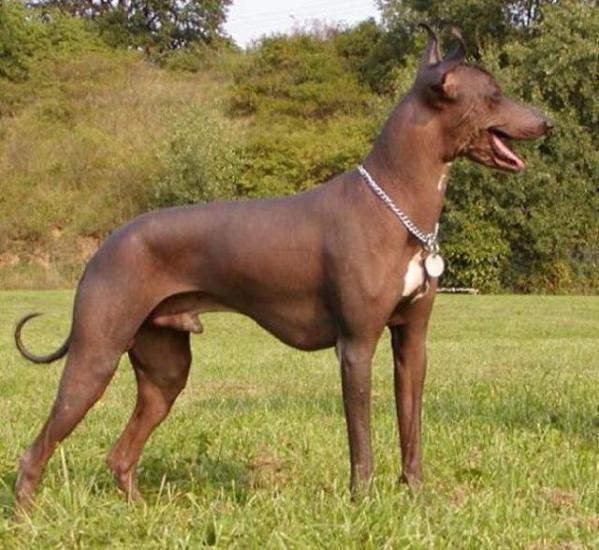 razas-de-perro-latinoamericanos-perro-sin-pelo-del-peru