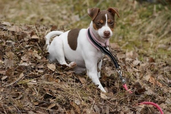 razas-de-perro-latinoamericanos-terrier-brasileño