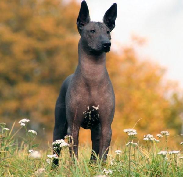 razas-de-perro-latinoamericanos-xoloitzcuintle