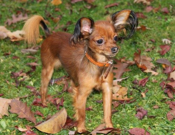 razas-de-perro-rusos-toy-terrier-ruso