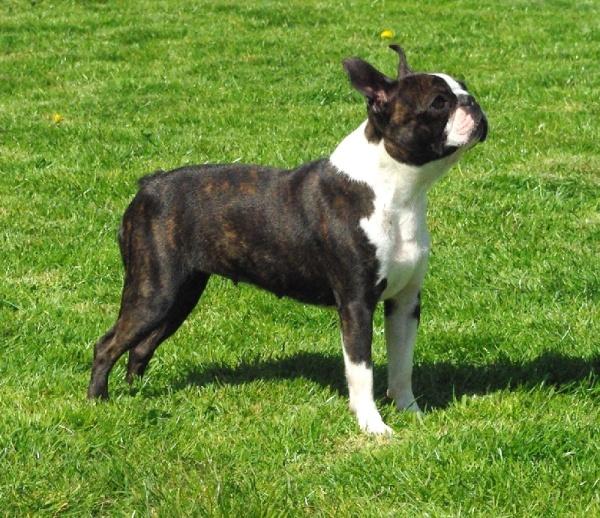 razas-de-perro-americano-boston-terrier