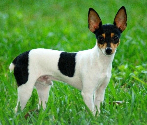 razas-de-perro-americano-fox-terrier-toy