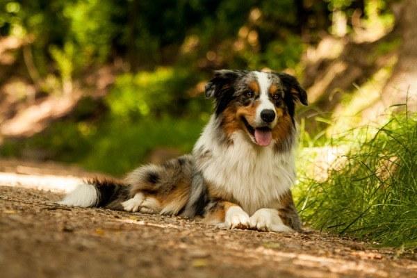 razas-de-perro-americano-pastor-ovejero-australiano