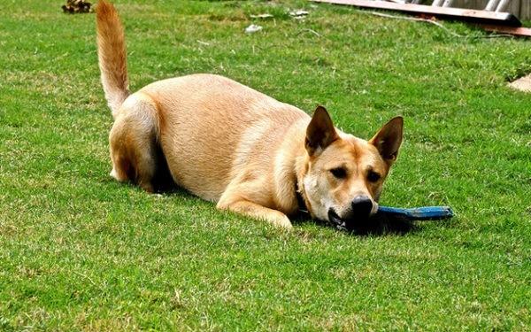 razas-de-perro-americano-perro-carolina