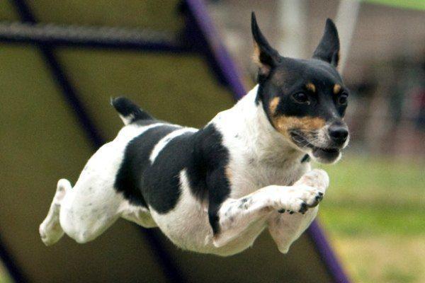 razas-de-perro-americano-rat-terrier