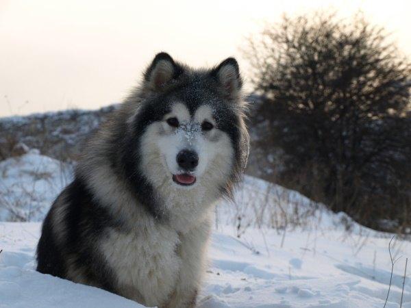 Razas de Perros Americano Alaskan Malamute