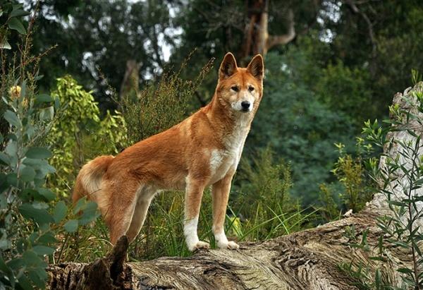 razas-de-perro-australianos-dingo