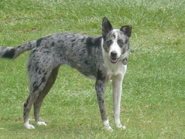 razas-de-perro-australianos-koolie