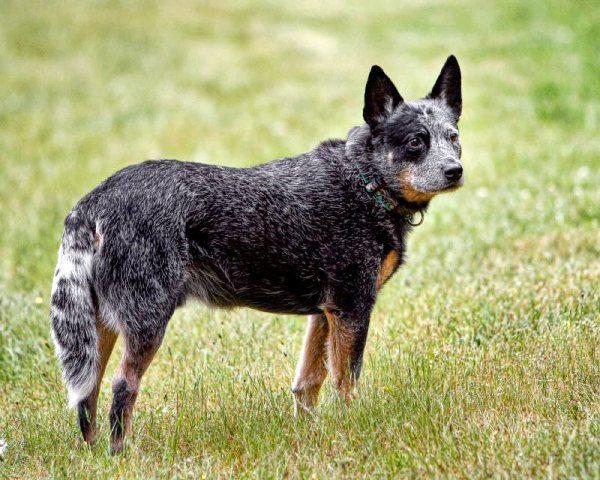 razas-de-perro-australianos-pastor-ganadero-australiano