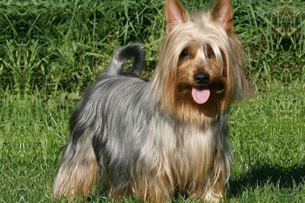 razas-de-perro-australianos-silky-terrier-australiano