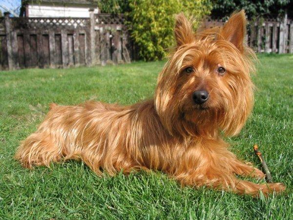 razas-de-perro-australianos-terrier-australiano