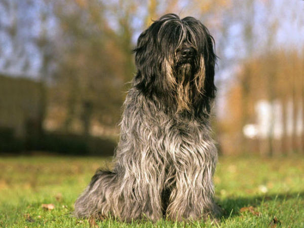 razas-de-perro-holandes-Schapendoes