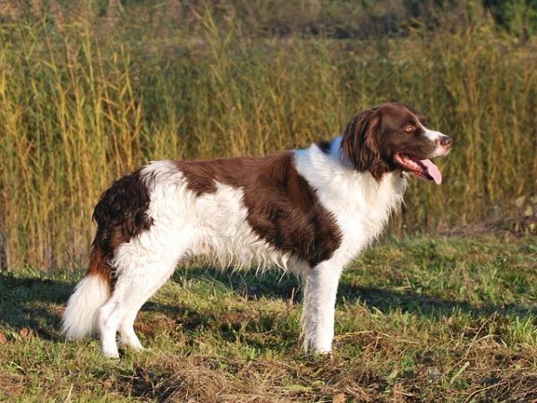 razas-de-perro-holandes-perdiguero-de-drente
