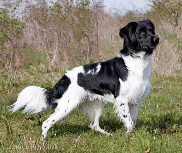 razas-de-perro-holandes-perdiguero-frison