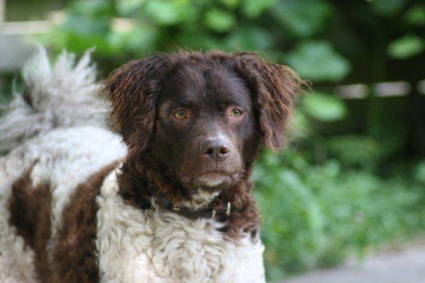 razas-de-perro-holandes-perro-de-agua-frison