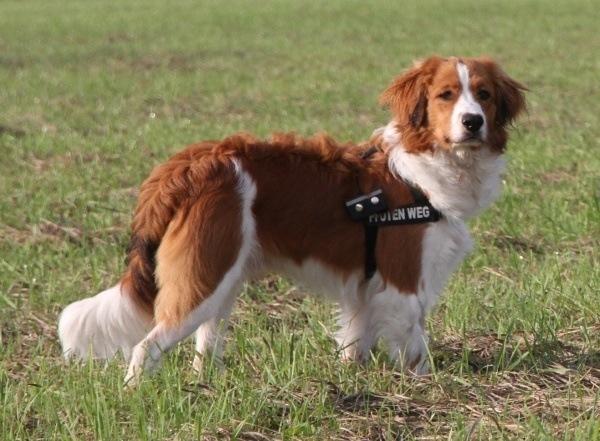 razas-de-perro-holandes-spaniel-holandes